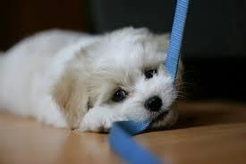 Help mijn puppy bijt in alles