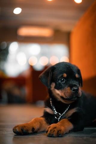 Rottweiler puppy hondenras en rasbeschrijving