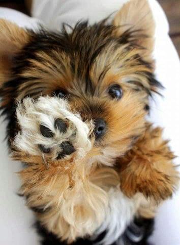 Yorkshire Terriër pup