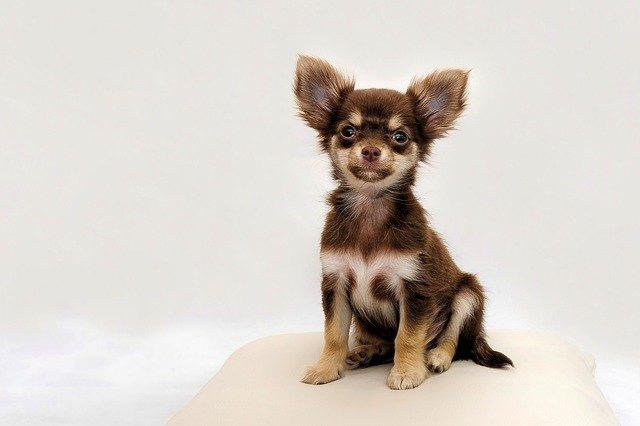 Hondenras Chihuahua
