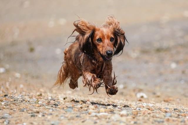 Teckel rennend